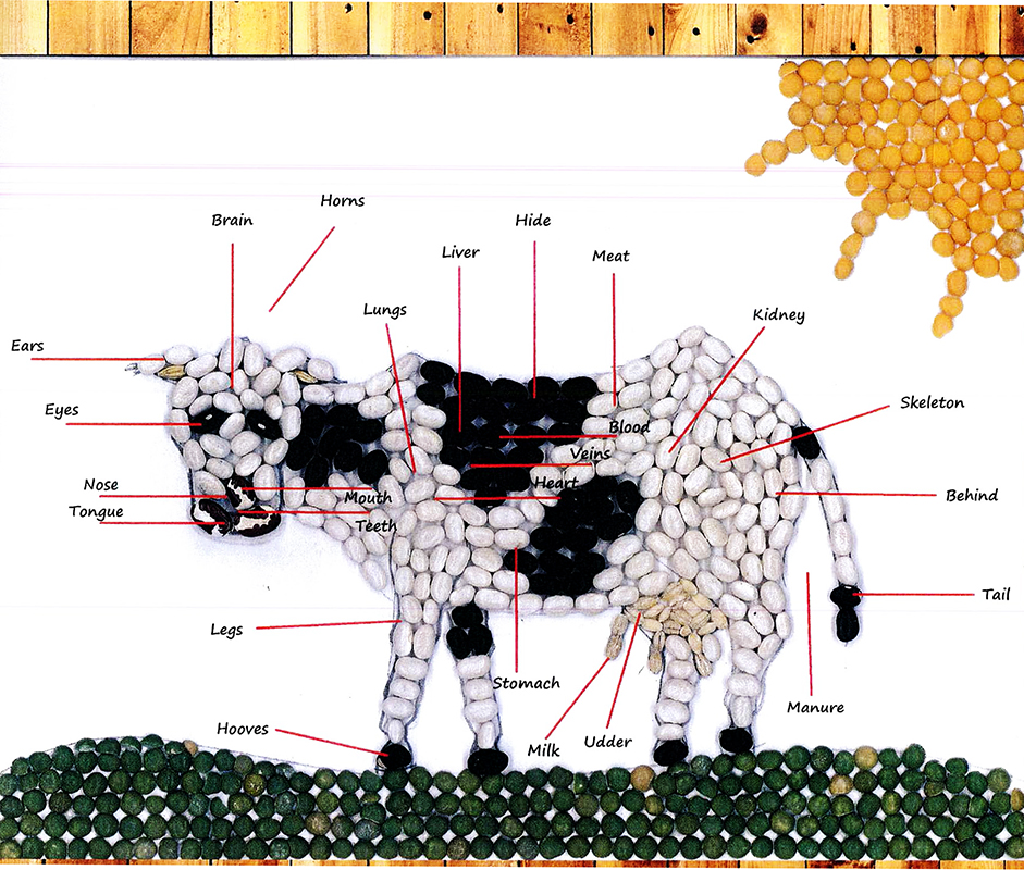 Cow Anatomy | Models of Excellence